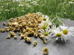 Would you like to make and refine kombucha tea, water kefir soda and Ginger Root lemonade with these exclusive Chamomile Blossoms. Here you can buy organic Chamomile Blossoms online